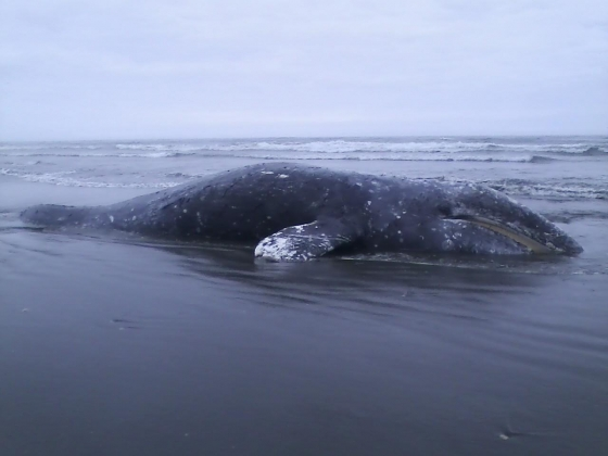 Grays whale washes ashore near Grayland