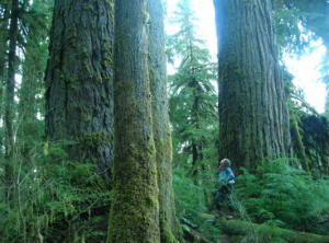 Ancient Temperate Rainforest in the South Quinault Ridge Proposed Wilderness.