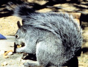 WDFW to review status of western gray squirrel, seeks public comment