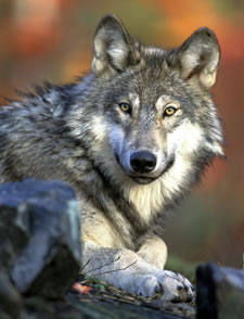 Livestock death confirmed in Teanaway Gray Wolf Pack area