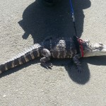 Ocean Shores Alligator