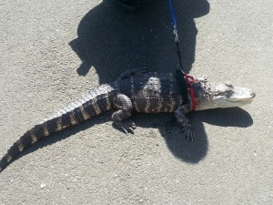 Ocean Shores Police catch man attempting to flee with 4 foot alligator