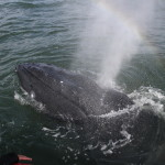 Humpback whale rescued