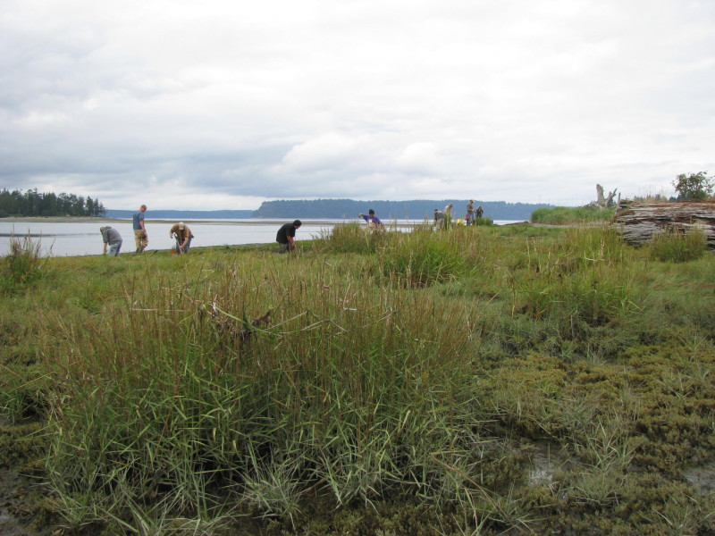 Spartina in Tulalip Bay