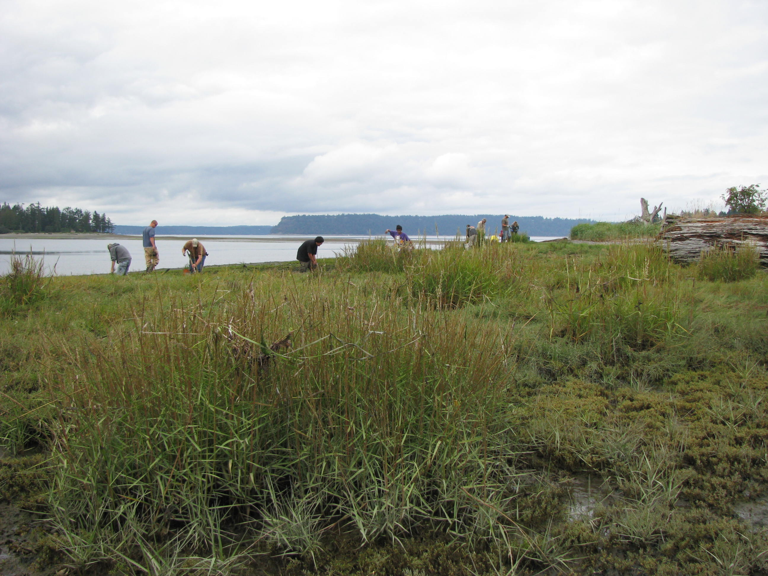 2014 Spartina treatment season begins next month in Grays Harbor
