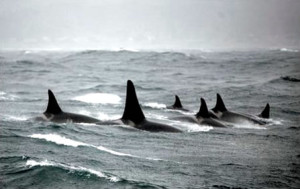 WDFW cautions boaters to steer clear of killer whales