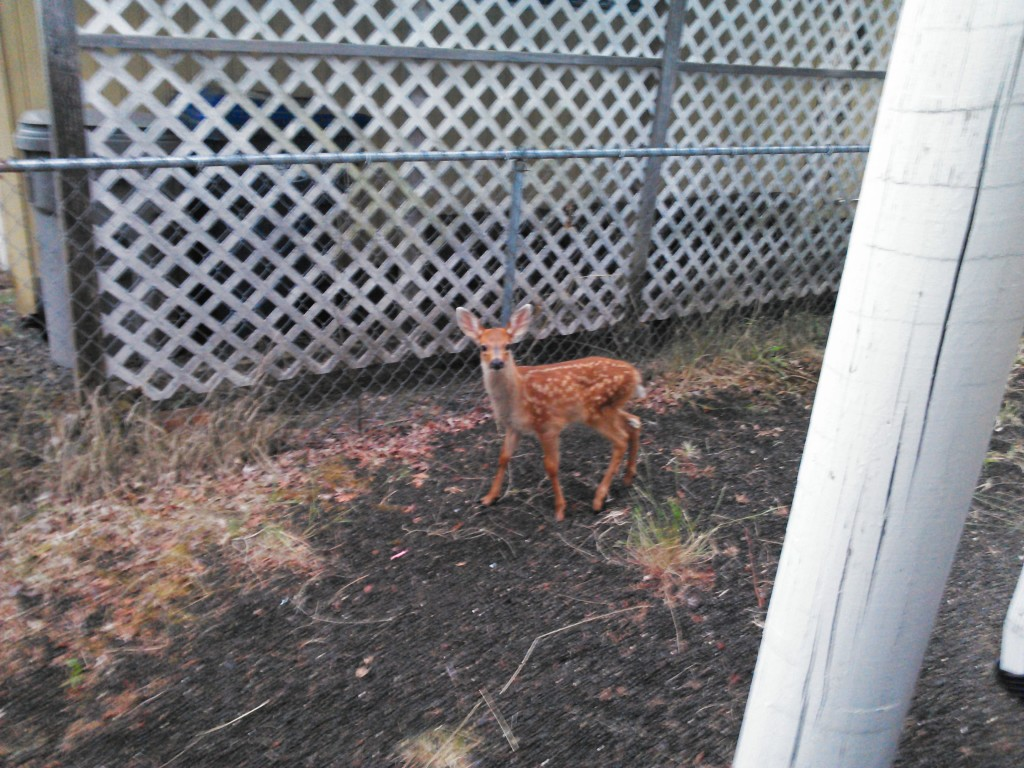 Fawn in Doug's yard