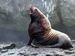 Steller Sea Lion (Eumetopias jubatus) - Photo by NOAA Fisheries