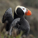 Tufted Puffin on Tatoosh Island - Photo by Peter Hodum