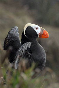 Wildlife Commission lists tufted puffins as state endangered species