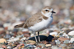 WDFW seeks input on proposed protective status of snowy plovers, northern spotted owls