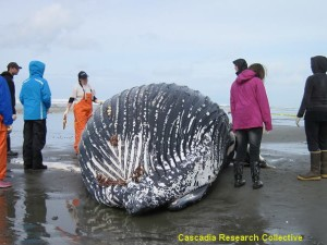 Baby Humpback Whale washes ashore near Westport, cause of death likely natural
