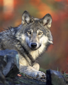 First Washington Gray Wolf found West of the Cascades