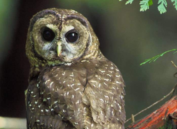 U.S. Fish & Wildlife Service to Review Northern Spotted Owl Endangered Species Act Status