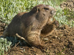 An Olympic marmot seen at Hurricane Hill, holds the root of a plant in its paw. Ken and Mary Campbell