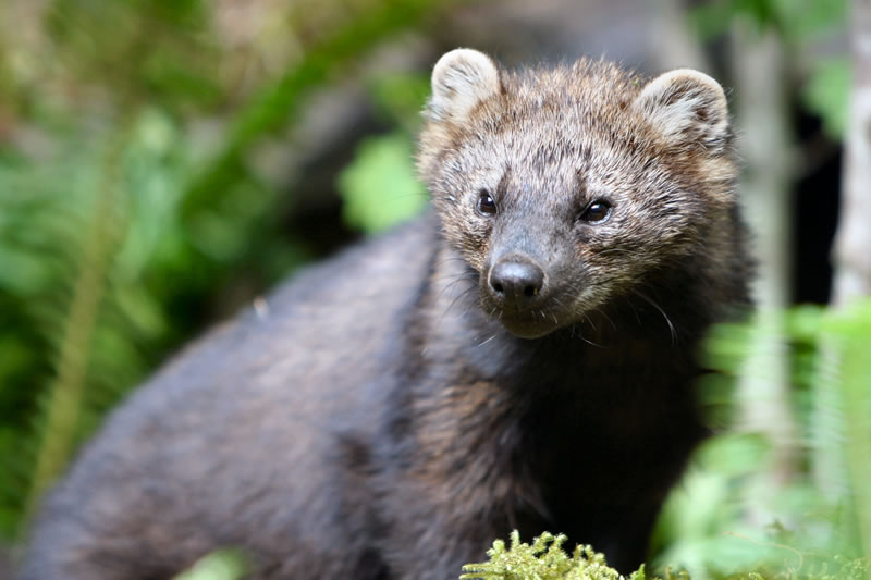 Endangered Fisher to be Reintroduced into Cascades after success in Olympic National Park