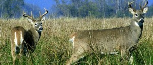 Columbian White-Tailed Deer