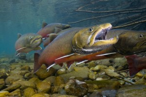 U.S. Fish and Wildlife Service Completes Final Bull Trout Recovery Plan
