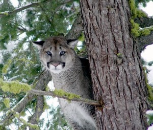 Adult male cougars stand about 30 inches tall at the shoulder. (Photo by Rich Beausoleil.)