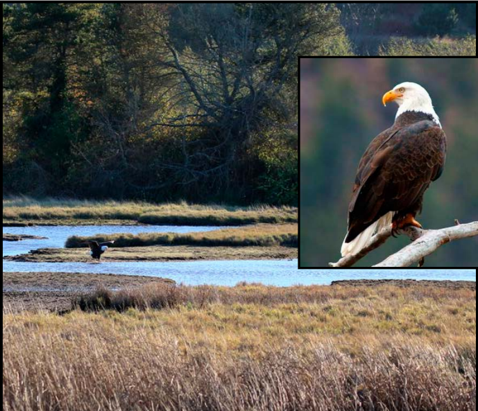 Wdfw Commission Delists Bald Eagle And Falcon Airs