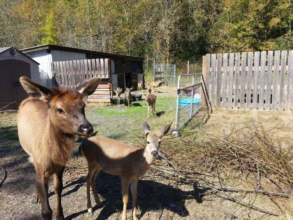 Agreement with wdfw will allow fawns to remain at for How to euthanize a fish