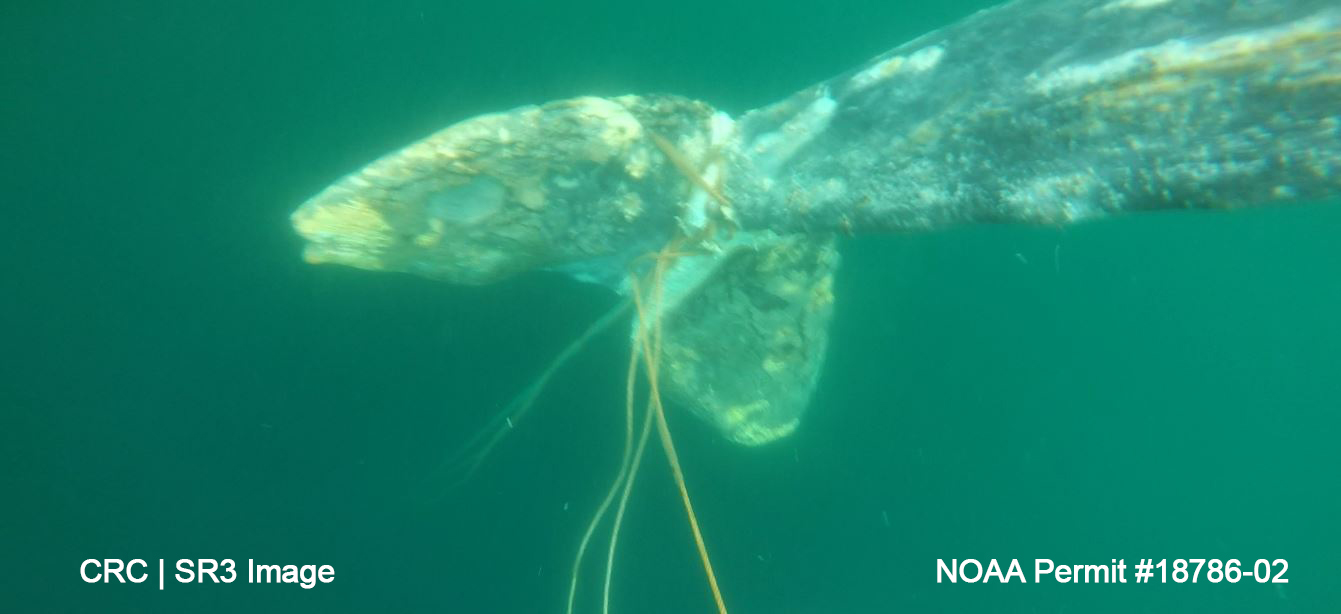 Entanglement Response Team removes anchoring line entangling a gray whale off Olympic Peninsula